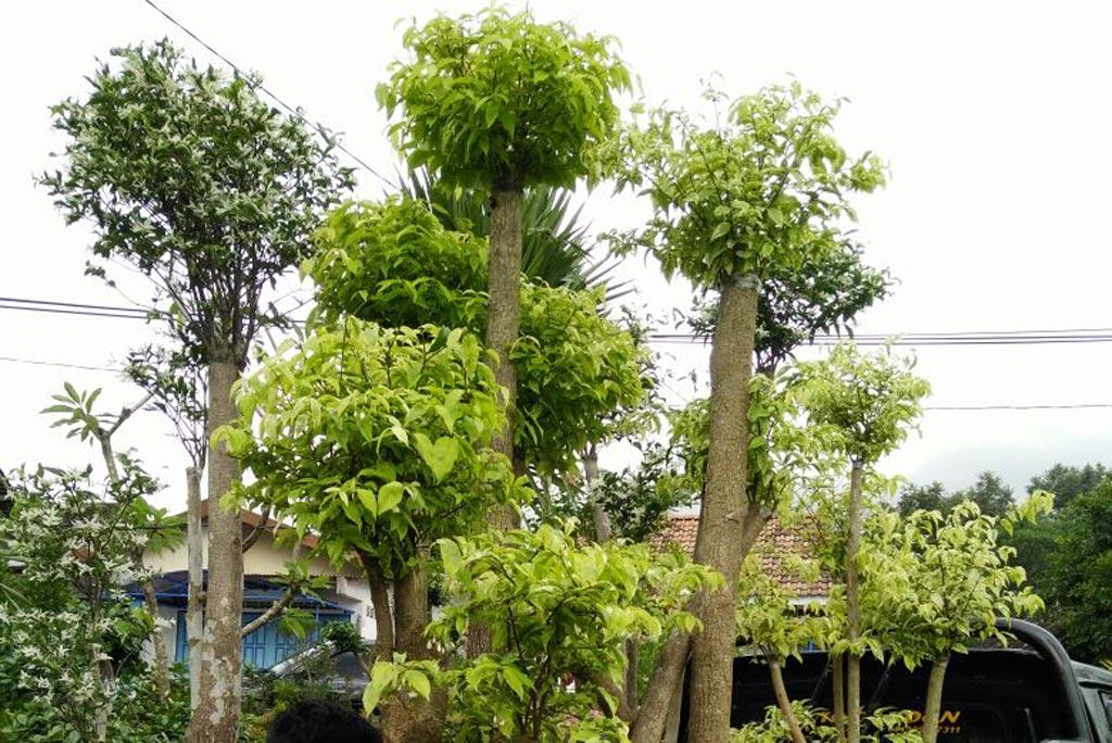 Tanaman Hias Barokah Garden